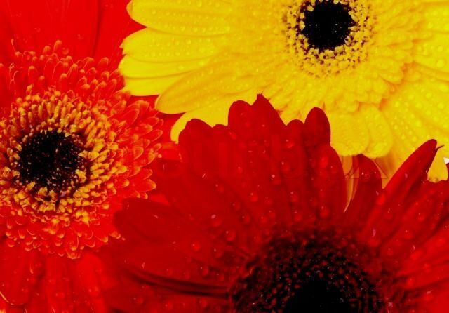 4326587-red-orange-and-yellow-gerbera-background